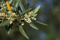 olive flower2.jpg